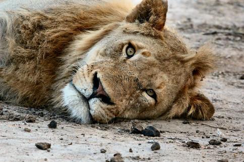 Muskelkater - oder die Tage danach. Löwe liegt müde auf dem Boden.