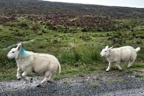 Beim Trailrunning in Schottland wird man oft von Schafen begleitet