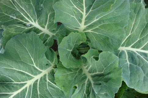 Grünes Blattgemüse enthält viel Vitamin K
