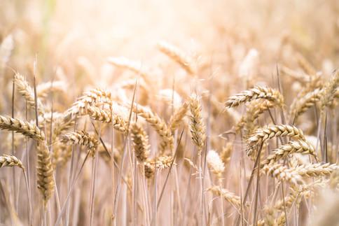 Getreidefeld - Glutensensitivität oder Zöliakie