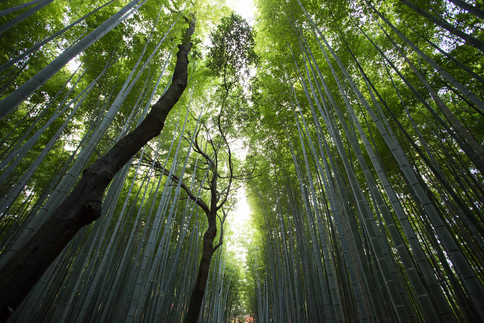 Bambus enthält Silizium, daher kommt auch seine Wirkung in der Kosmetik