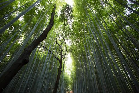 bambus-extrakt.jpg