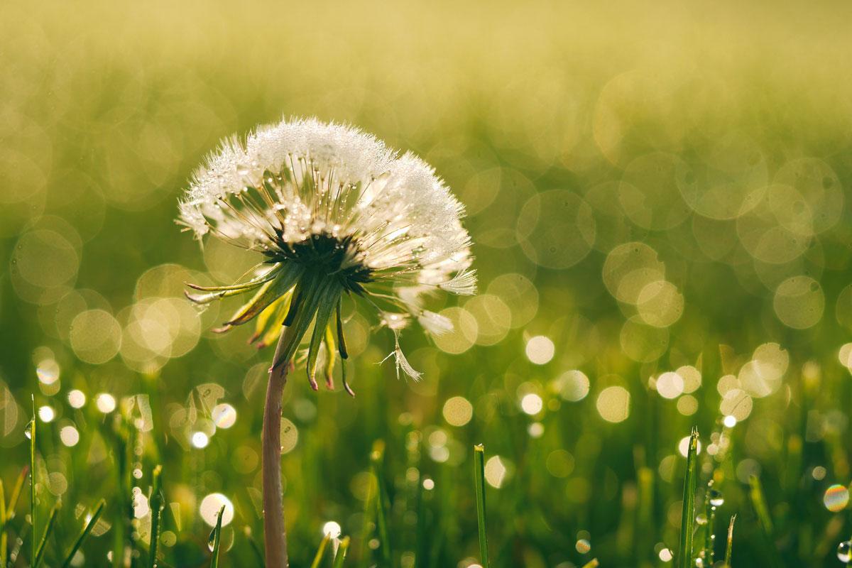 loewenzahn_by-aaron-burden_tipps-in-der-pollen-zeit